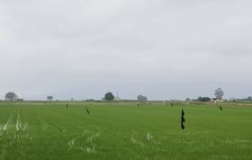 imatge dels camps d'arròs de les terres de l'Ebre